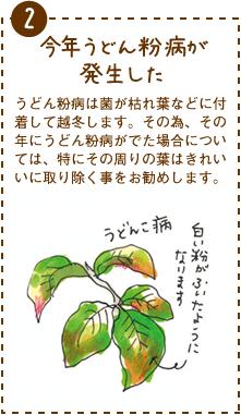 うどん粉病は菌が枯れ葉などに付着して越冬します。その為、その年にうどん粉病がでた場合については、特にその周りの葉はきれいいに取り除く事をお勧めします。