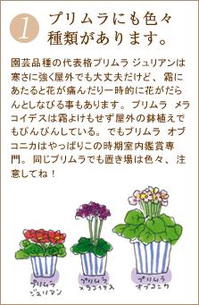 園芸品種の代表格プリムラ ジュリアンは寒さに強く屋外でも大丈夫だけど、霜にあたると花が痛んだり一時的に花がだらんとしなびる事もあります。プリムラ メラコイデスは霜よけもせず屋外の鉢植えでもぴんぴんしている。でもプリムラ オブコニカはやっぱりこの時期室内鑑賞専門。同じプリムラでも置き場は色々、注意してね!