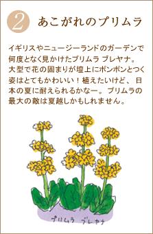 イギリスやニュージーランドのガーデンで何度となく見かけたプリムラ ブレヤナ。大型で花の固まりが壇上にポンポンとつく姿はとてもかわいい!植えたいけど、日本の夏に耐えられるかなー。プリムラの最大の敵は夏越しかもしれません。