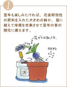 翌年も楽しみたければ、花後即効性の肥料を入れた大きめの鉢か、庭に植えて球根を充実させて翌年の春の開花に備えます。