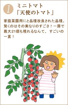 ミニトマト「天使のトマト」家庭菜園用にと品種改良された品種。驚くのはその実なりのすごさ!一房で最大21個も穫れるなんて、すごいの一言!