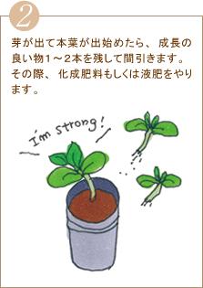 芽が出て本葉が出始めたら、成長の良い物1~2本を残して間引きます。その際、化成肥料もしくは液肥をやります。