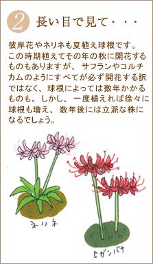 彼岸花やネリネも夏植え球根です。この時期植えてその年の秋に開花するものもありますが、サフランやコルチカムのようにすべてが必ず開花する訳ではなく、球根によっては数年かかるものも。しかし、一度植えれば徐々に球根も増え、数年後には立派な株になるでしょう。