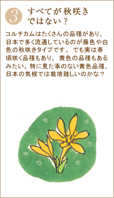 コルチカムはたくさんの品種があり、日本で多く流通しているのが藤色や白色の秋咲きタイプです。でも実は春頃咲く品種もあり、黄色の品種もあるみたい。特に見た事のない黄色品種、日本の気候では栽培難しいのかな?