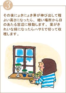 その後にょきにょき芽が伸び出して程よい高さになったら、暗い場所から日のあたる窓辺に移動します。葉がきれいな緑になったらハサミで切って収穫します。