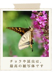 チョウや昆虫は、最高の被写体です