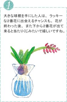 大きな球根を手にした人は、ラッキーな2番花に出会えるチャンスも。花が終わった後、また下から2番花が出て来ると当たりくじみたいで嬉しいですね。