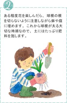 ある程度花を楽しんだら、球根の根を切らないように注意しながら鉢や庭に埋めます。これから球根が太る大切な時期なので、土にはたっぷり肥料を施します。