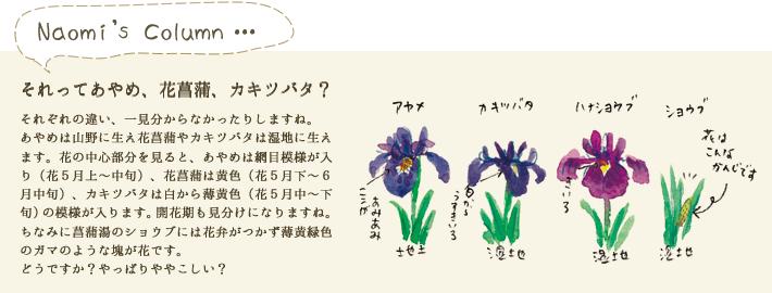 あやめは山野に生え花菖蒲やカキツバタは湿地に生えます。花の中心部分を見ると、あやめは網目模様が入り(花5月上~中旬)、花菖蒲は黄色(花5月下~6月中旬)、カキツバタは白から薄黄色(花5月中~下旬)の模様が入ります。開花期も見分けになりますね。ちなみに菖蒲湯のショウブには花弁がつかず薄黄緑色のガマのような塊が花です。