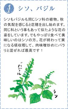 シソもバジルも同じシソ科の植物。秋の気配を感じると、花穂を出し始めます。同じ科という事もあって似たような花の姿をしています。でもやっぱり食べて美味しいのはシソの方。花が終わって実になる頃収穫して、肉味噌炒めにパラリと混ぜれば最高です!