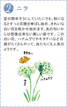 夏の間辛そうにしていたニラも、秋になるとすっと花穂を伸ばし始め、きれいな白い花を咲かせ始めます。あの匂いからは想像出来ない美しい姿です。この白い花、ハナムグリやキタテハなどの蝶がたくさんやって、虫たちにも人気のようです。