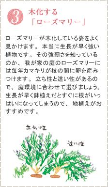 ローズマリーが木化している姿をよく見かけます。本当に生長が早く強い植物です。その強靭さを知っているのか、我が家の庭のローズマリーには毎年カマキリが枝の間に卵を産みつけます。立ち性と這い性があるので、庭環境に合わせて選びましょう。生長が早く鉢植えだとすぐに根がいっぱいになってしまうので、地植えがおすすめです。