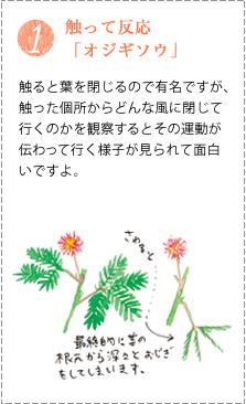 オジギソウは、触ると葉を閉じるので有名ですが、触った個所からどんな風に閉じて行くのかを観察するとその運動が伝わって行く様子が見られて面白いですよ。