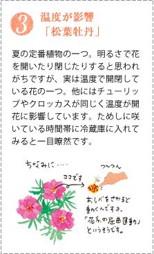 松葉牡丹は夏の定番植物の一つ。明るさで花を開いたり閉じたりすると思われがちですが、実は温度で開閉している花の一つ。他にはチューリップやクロッカスが同じく温度が開花に影響しています。ためしに咲いている時間帯に冷蔵庫に入れてみると一目瞭然です。