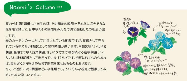 夏の代名詞「朝顔」。小学生の頃、その開花の瞬間を見る為に咲きそうな花を紙で縛って、日中咲くその瞬間をみんなで見て感動したのを思い出します。緑のカーテンの一つとして注目されている朝顔ですが、朝顔として売られている中でも、種類によって開花時間が違います。早朝に咲くいわゆる朝顔、昼頃まで咲く西洋朝顔、さらに夕方まで咲き続ける宿根朝顔(ノアサガオ、琉球朝顔として出回っています)などです。初夏に咲くものもあれば、夏も遅くから咲き晩秋まで開花を楽しめるものもあります。さて、ご近所に咲く朝顔はどんな種類でしょう!?そんな視点で観察してみるのもまた楽しいですよ。