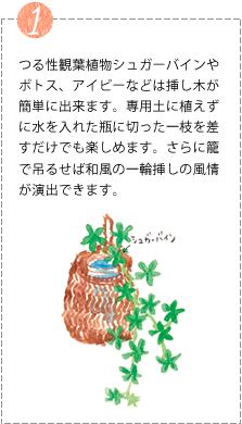 つる性観葉植物シュガーバインやポトス、アイビーなどは挿し木が簡単に出来ます。専用土に植えずに水を入れた瓶に切った一枝を差すだけでも楽しめます。さらに籠で吊るせば和風の一輪挿しの風情が演出できます。