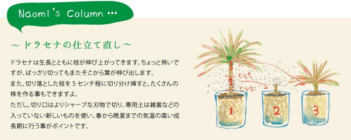 ドラセナは生長とともに枝が伸び上がってきます。ちょっと怖いですが、ばっさり切ってもまたそこから葉が伸び出します。また、切り落とした枝を5センチ程に切り分け挿すと、たくさんの株を作る事もできますよ。ただし、切り口はよりシャープな刃物で切り、専用土は雑菌などの入っていない新しいものを使い、春から晩夏までの気温の高い成長期に行う事がポイントです。