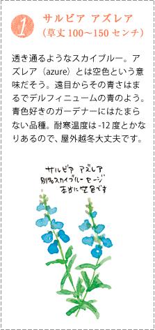 透き通るようなスカイブルー。アズレア(azure)とは空色という意味だそう。遠目からその青さはまるでデルフィニュームの青のよう。青色好きのガーデナーにはたまらない品種。耐寒温度は-12度とかなりあるので、屋外越冬大丈夫です。