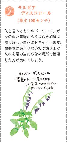 何と言ってもシルバーリーフ、ガクの淡い黄緑からうつむき加減に咲く珍しい黒花にドキッとします。耐寒性はあまりないので堀り上げた株を霜の当たらない場所で管理した方が良いでしょう。
