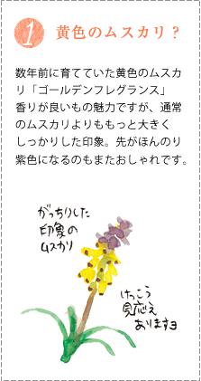 数年前に育てていた黄色のムスカリ「ゴールデンフレグランス」香りが良いもの魅力ですが、通常のムスカリよりももっと大きくしっかりした印象。先がほんのり紫色になるのもまたおしゃれです。
