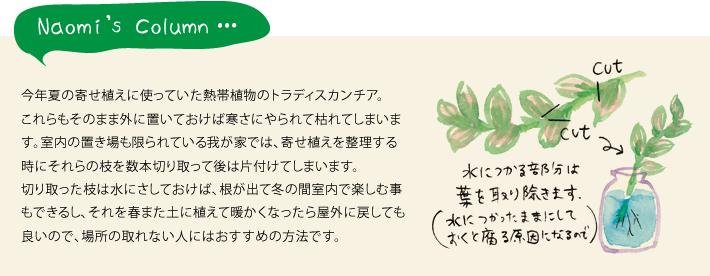今年夏の寄せ植えに使っていた熱帯植物のトラディスカンチア。これらもそのまま外に置いておけば寒さにやられて枯れてしまいます。室内の置き場も限られている我が家では、寄せ植えを整理する時にそれらの枝を数本切り取って後は片付けてしまいます。切り取った枝は水にさしておけば、根が出て冬の間室内で楽しむ事もできるし、それを春また土に植えて暖かくなったら屋外に戻しても良いので、場所の取れない人にはおすすめの方法です。
